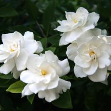 Gardenias Flowers